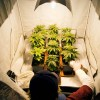 Advantages and disadvantages for using Autoflowering plants in an indoor crop
