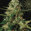 Super Skunk Auto from Vision Seeds
