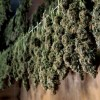 Growing Marijuana: drying & curing for perfect buds